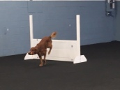 dog jumping with a dumbbell in the open class