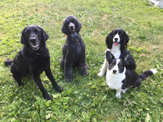 Black lab cross, black standard poodle, back and white English springer spaniel and black and white cardigan corgi sit next to each other on the lawn